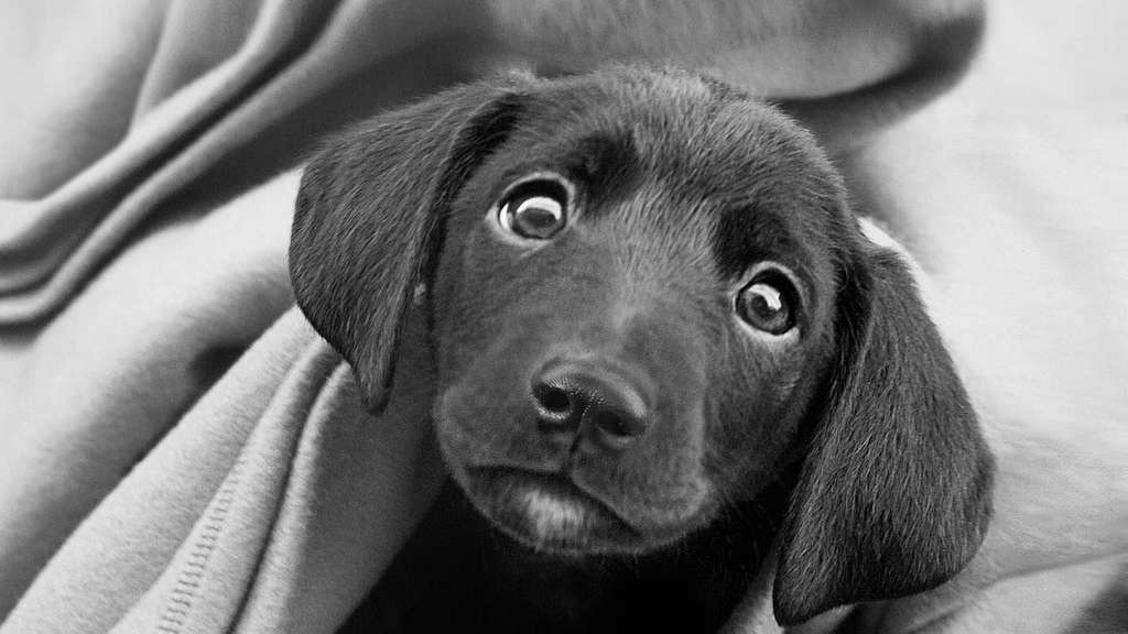 Sad Puppy Black and White